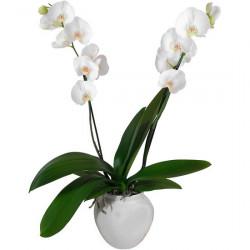 ORCHIDS ORCHIDÉE BLANCHE EN POT