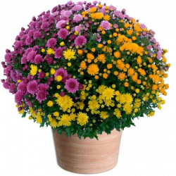 CHRYSANTHEM MULTICOLOR TOUSSAINT FLOWERS