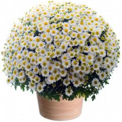 CHRYSANTHEM WHITE - TOUSSAINT FLOWERS