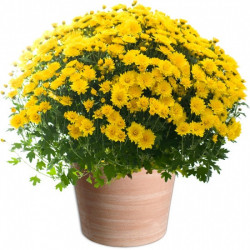 CHRYSANTHEM YELLOW - TOUSSAINT FLOWERS