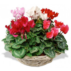 COMPOSITION OF CYCLAMENS